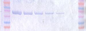 PBP2a / MRSA aptamer western blot