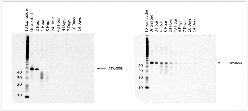 estern blot demonstrating aptamer stability